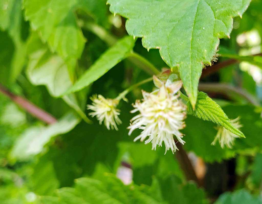 Closeup of a Hop that grows in the garden.