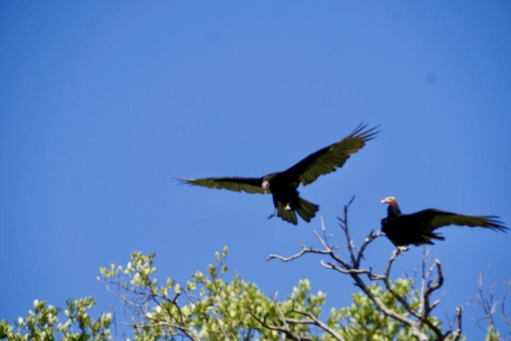 Black vultures Coragyps atratus